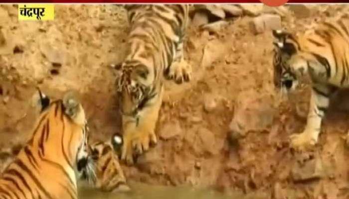 Chandrapur BJP Leader Sudhir Mungantiwar Criticise Tigers Family Planning Program
