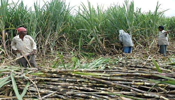 ऊस पिकावर करपा सदृश्य रोगाचा प्रादुर्भाव, नुकसानीची चाचपणी सुरु