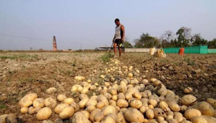 मुसळधार पावसामुळे बटाटा उत्पादक शेतकरी संकटात