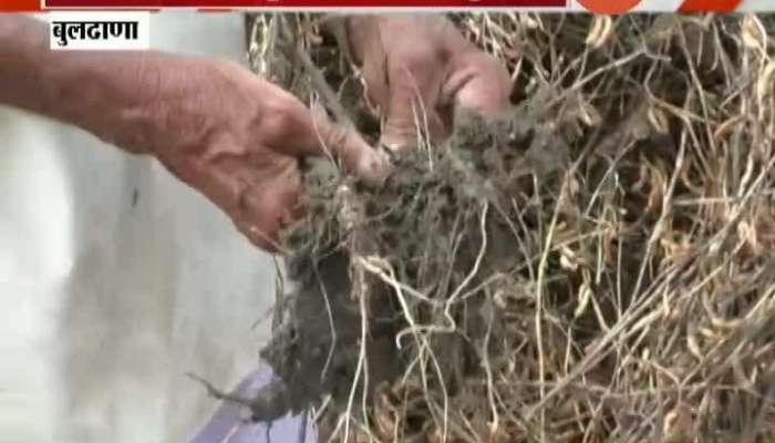 Buldhana Uncertain Rain Damage Soyabeen Farmers