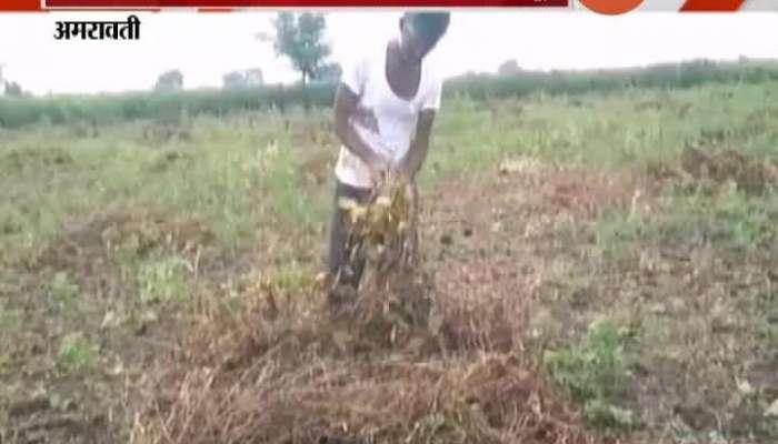 Amravati Soyabean Farmers In Problem From Returning Monsoon