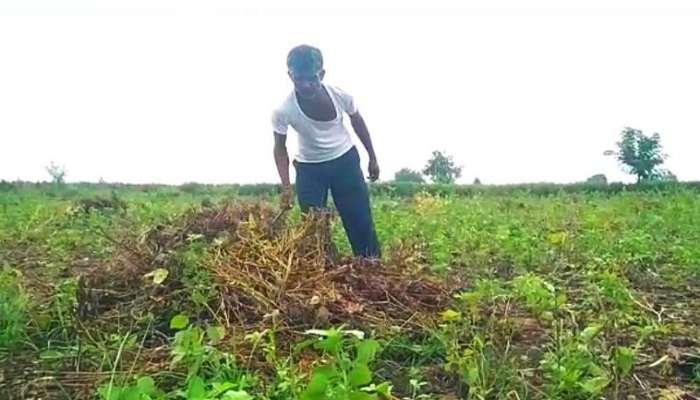 सोयाबीनला परतीच्या पावसाचा फटका, शेकडो हेक्टर शेतीचं नुकसान