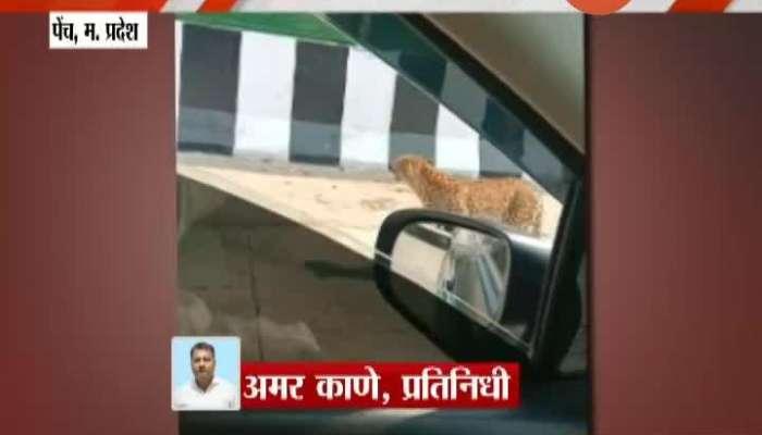 Madhya Pradseh,Pench Leopord Stuck In Nagpur-Jabalur Highway