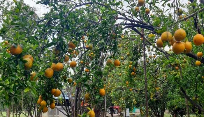 भाव कोसळल्याने अमरावतीतील संत्रा उत्पादक शेतकरी संकटात