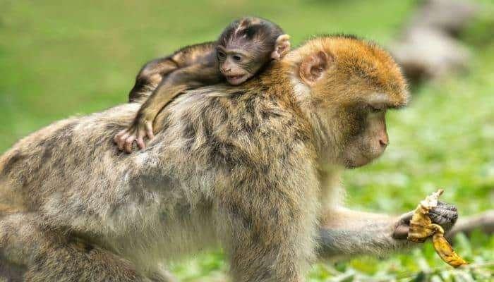 माकडीणीच्या मातृत्वाचा सोहळा पाहून तुमचेही डोळे पाणावतील !