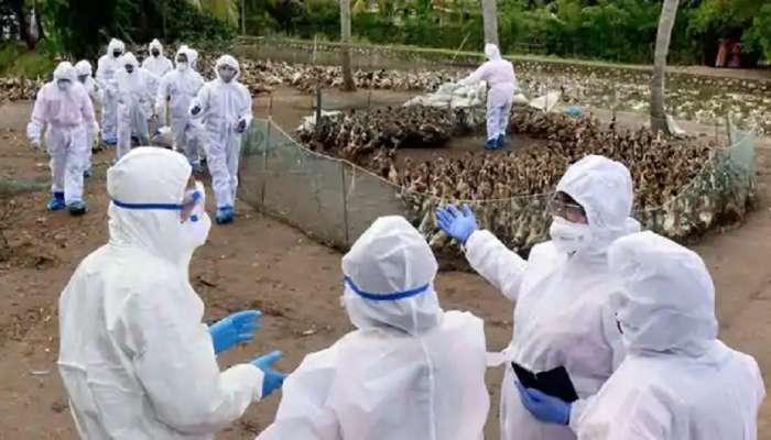 महाराष्ट्रातही Bird Flu चा शिरकाव; परभणीत ८०० कोंबड्यांचा मृत्यू