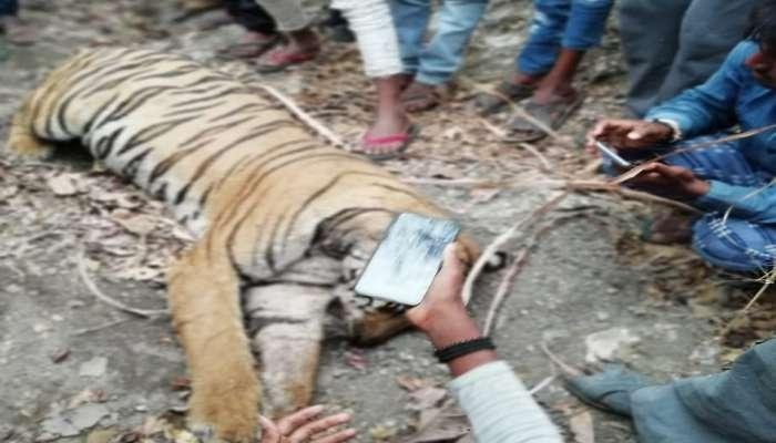 राज्यात वाघांचे मृत्यूसत्र सुरुच, आणखी एका वाघाचा संशयास्पद मृत्यू