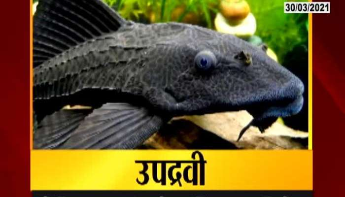 Solapur Ujani Dam Fisherman In Problem From Helicopter Fish As They Destroy Other Fish