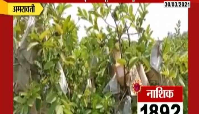 Amravati Heat Wave Impact On Guava Farming