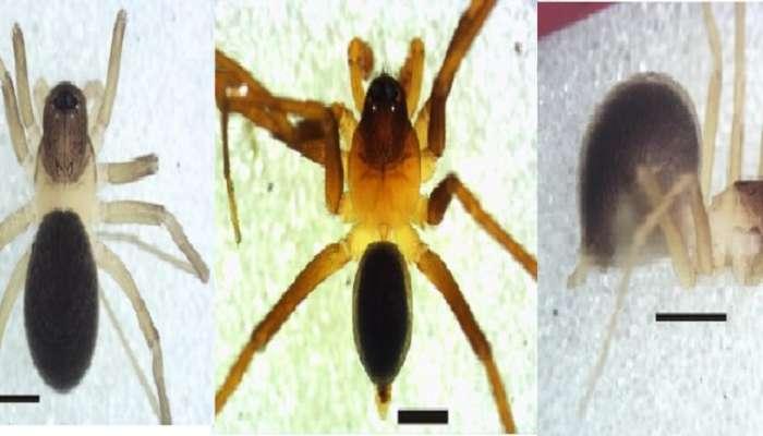 विदर्भात या ठिकाणी सापडला जगातील पहिला मुंगी कोळी !