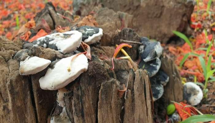 कोरोनापाठोपाठ काळ्या बुरशीची दहशत, बुरशीच्या धास्तीने झाडांवर कुऱ्हाड