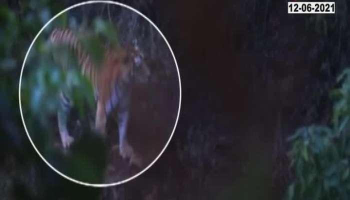 Tiger sightings in Chikhaldara