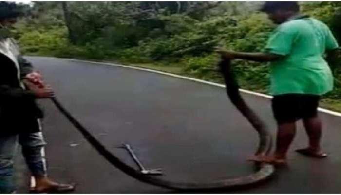 तरुणांनी पकडला भलामोठा किंग कोबरा पण; विकृत वागण्यामुळे सोशल मीडियावर व्यक्त होतोय संताप
