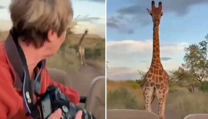 जिराफसोबत फोटो काढणं महिलेला पडलं महागात, जिराफने थेट...पाहा व्हिडीओ