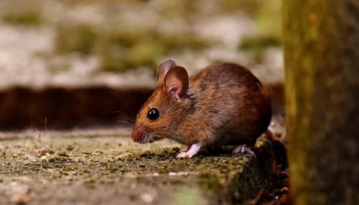 उंदराच्या Emergency Alert ने पोलिसांना फुटला घाम, नक्की काय आहे हे प्रकरण