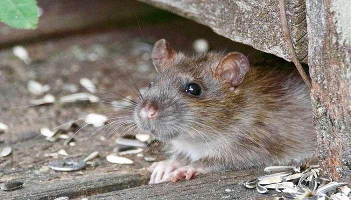 Shocking! पार्कात फिरणाऱ्या महिलेवर 100हून अधिक उंदरांचा हल्ला