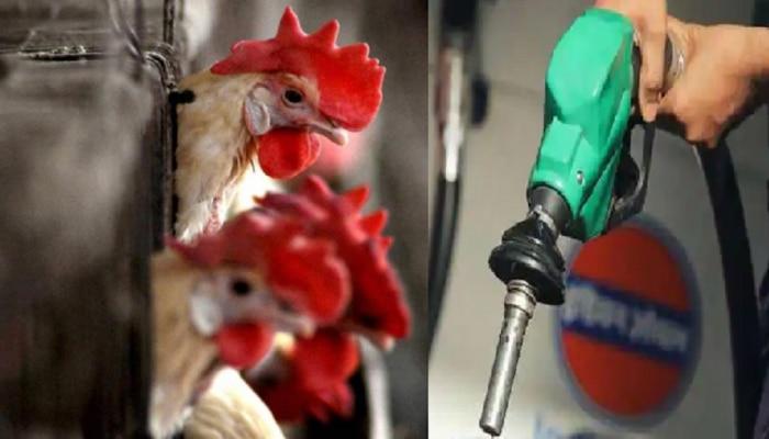 अंडी, मांस देणारे कोंबड्या आता चक्क आपल्याला डिझेलही देणार, पण कसं?