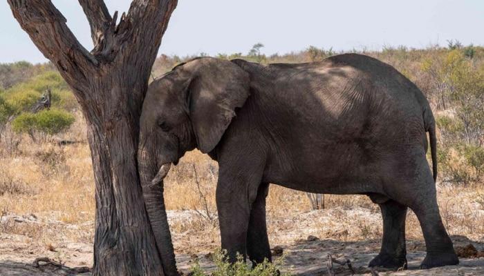 World Elephant Day 2021: हत्ती झोपतात कसे, जाणून व्हाल थक्क