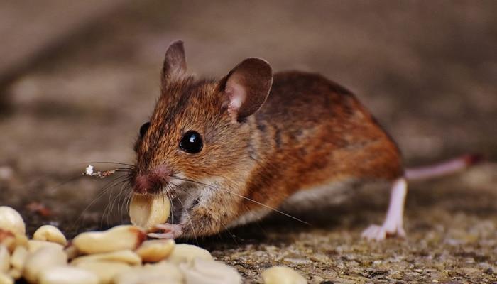 उंदीर घरातील प्रत्येक वस्तू का कुरतडतात? ही त्यांची आवड असते की, नाईलाज?