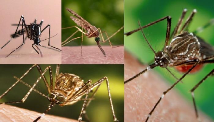 World Mosquito Day : जाणून घ्या डासांच्या प्रजाती आणि त्यामुळे पसरणारे गंभीर आजार