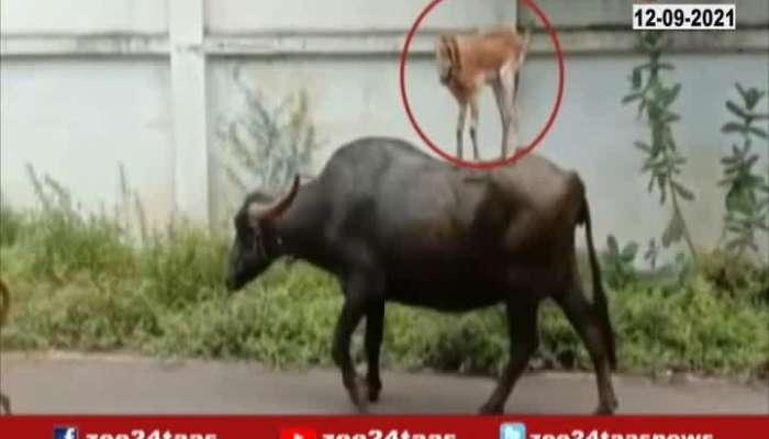 Solapur Good Friendaship Between Buffalo,Dog And Goat