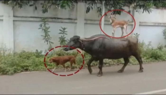 स्वार्थासाठी माणसांची मैत्री, पण प्राण्यांमधील ही आगळी वेगळी दोस्ती, पाहा व्हीडिओ