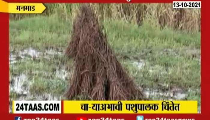Manmad Farmers In Problem As Fodder For Animals Also Got Damage In Heavy Rainfall
