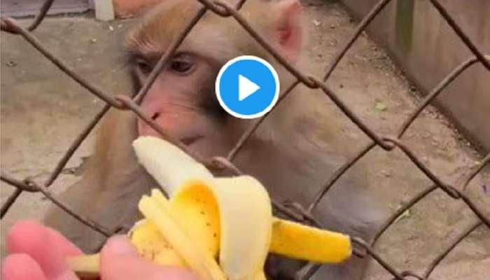 पर्यटकाला माकडाने अशी कानखाली लगावली... पाहा व्हिडीओ